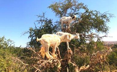 アルガンの木に登るヤギ
